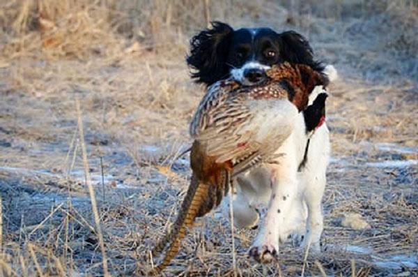 Citari Kennel | Springer Spaniels – Springer Spaniel Puppies and Gun