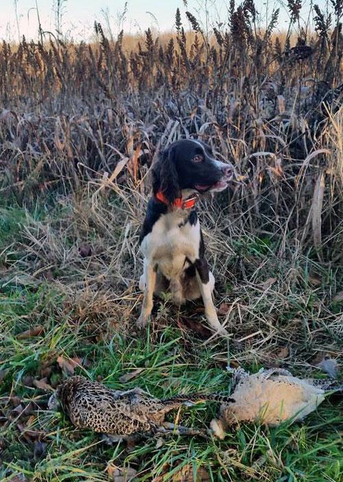 Citari Dogs – Citari Kennel | Springer Spaniels