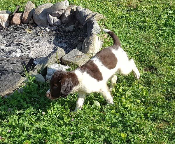 Citari Kennel | Springer Spaniels – Springer Spaniel Puppies
